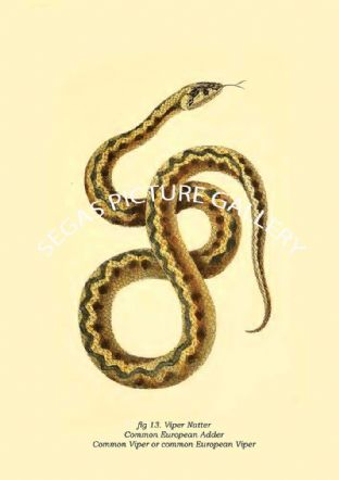 Viper Natter - common European adder, common adder, common viper or common European viper